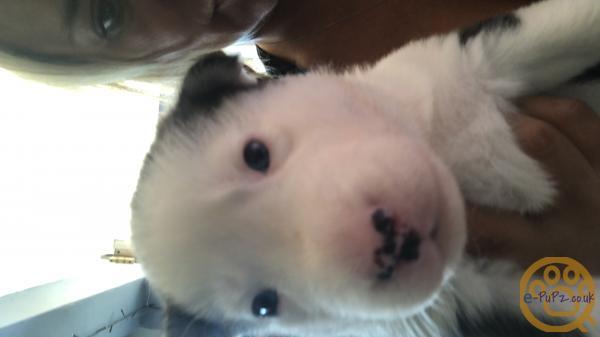 Pure bred Siberian husky's