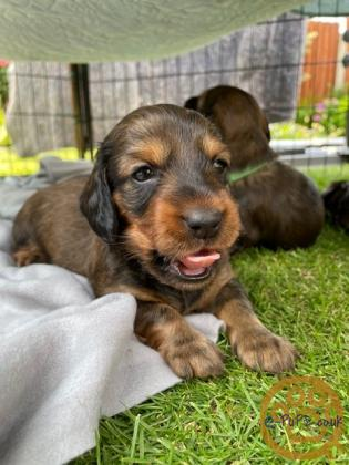 Shaded Red Standard Longhaired Dachshund Puppies
