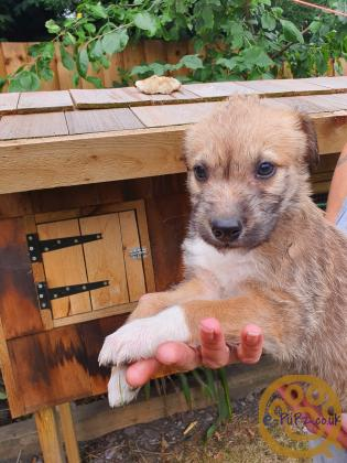 Stunning Lurcher Pups for sale