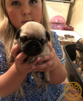 The ultimate old school pug puppies ready August