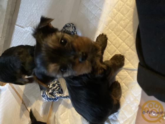 Tiny Yorkshire terrier puppies