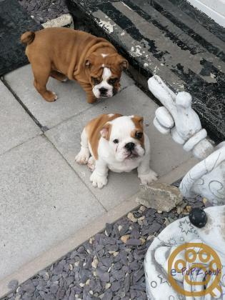 KC Registered British Bulldog Puppies