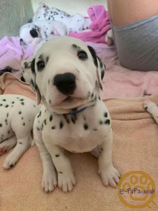 Beautiful chunky Dalmatian pups
