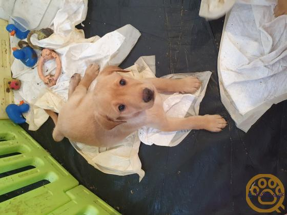 1 female kc labrador puppy