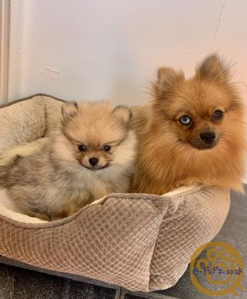 8 Week Old Girl Pomeranian Puppies ready to leave now