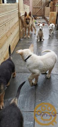 Pure KC German shepherd pup's