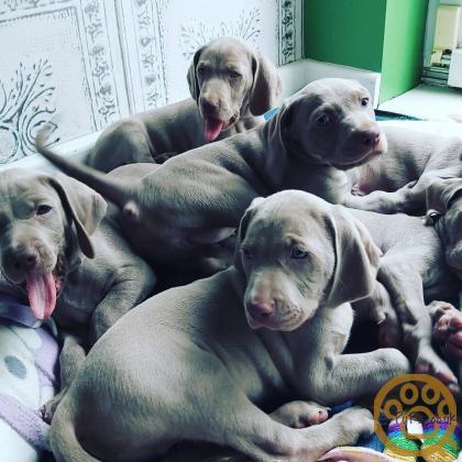 KC registered silver Weimaraner puppies , 2 girls , 2 boys left.