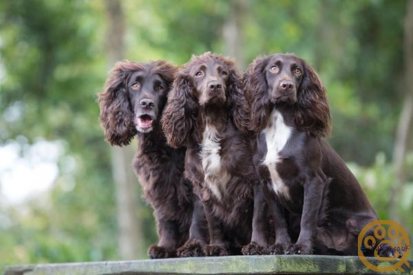 Working Cocker Spaniel Pups for sale,  exceptionally high quality in all respects, please read and view the links. Hard to find a better WCS Puppy.