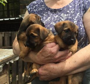 Border x Lakeland Terrier puppies