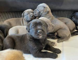 Cane Corso's puppies for sale
