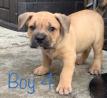 American Bulldog x Olde english Puppies for sale- male