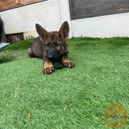 **kc reg German shepherd Czech Line Pups**