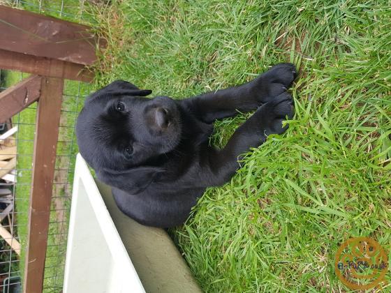 Adorable Labrador puppies ready now