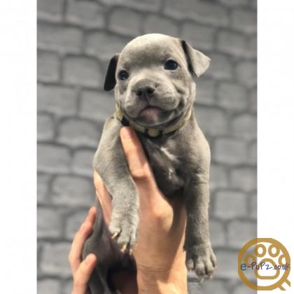Beautiful Blue Staffordshire Bull Terrier Puppies Available