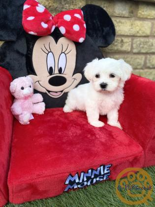 WoW Beautiful Maltese puppies ready now