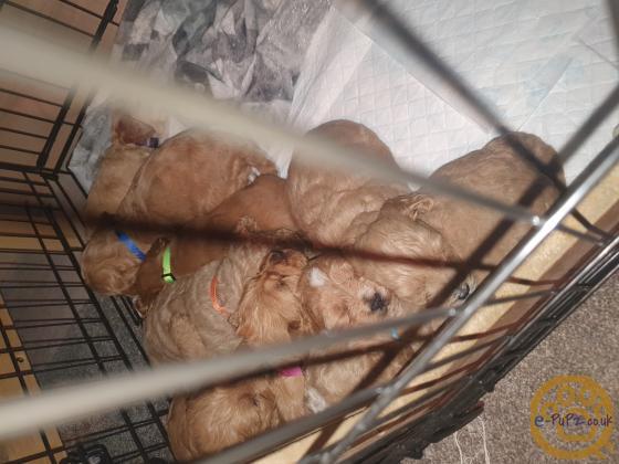 Beautiful red Cockapoo Puppies
