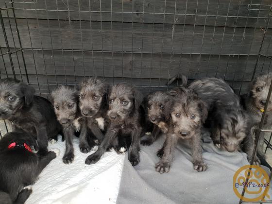Bedlington whippet Puppies