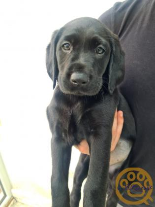 Black working lines Labrador puppies available - great temperament, champion bloodlines