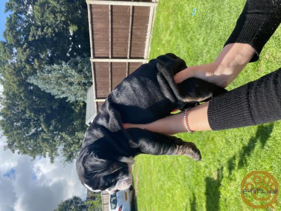 English Bulldog Puppies Merle, Lilac, Blue, Black Tri, Chocolate