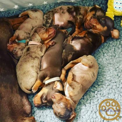 KC Miniature Dachshund Puppies for Sale