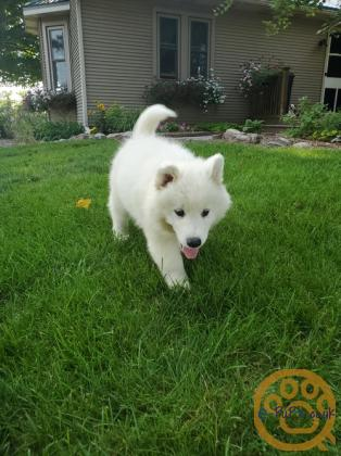 KC registered Samoyed puppies for sale