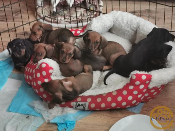 Minature dachshund