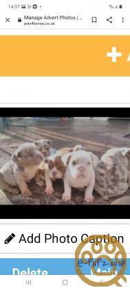 Old tyme bulldog puppies 9 weeks old