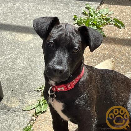Patterdale puppy (almost 7 months) needs a loving home
