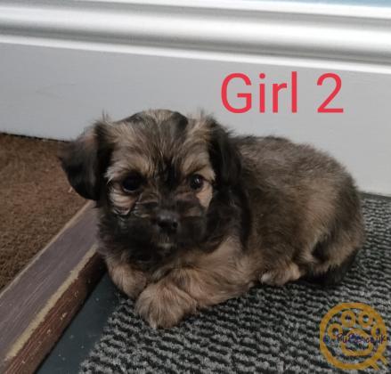 Shih Tzu x Pomeranian