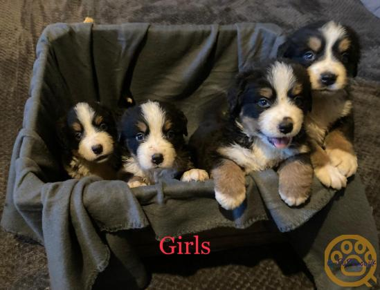 Stunning Bernese Mountain Dog Puppies Ready Now