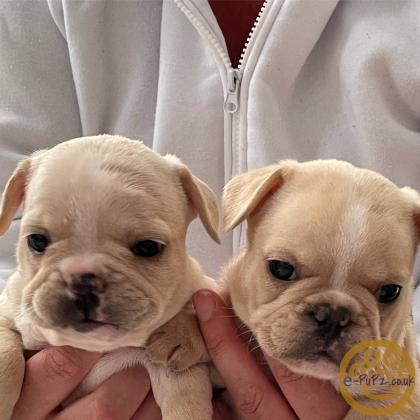 Stunning French Bulldog Pups - 3 left