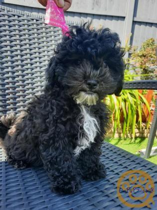 stunning  shihpoo puppies