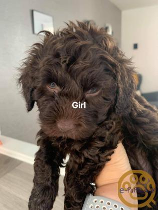 Toy poodle x miniature poodle pups