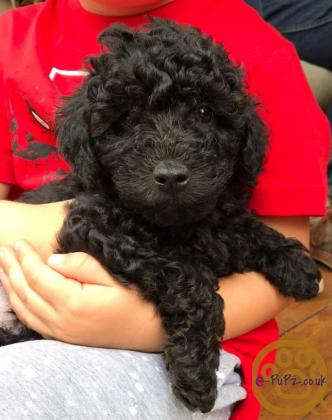 Toy poodle x puppies