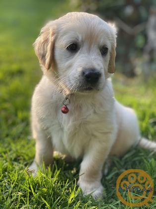 Gorgeous KC Reg Golden retriever pups for sale