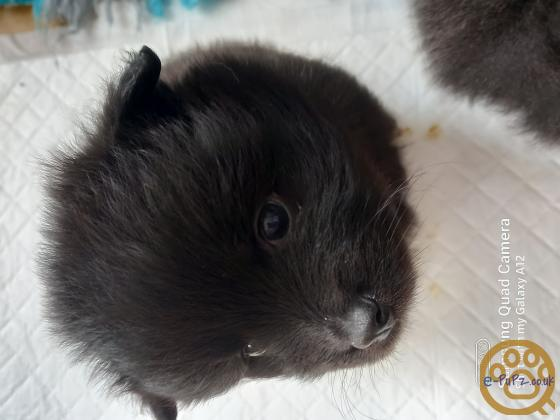 Only 3 left Pomeranian puppies