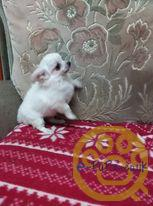 KC REG.LONGHAIRED CHIHUAHUA PUPS,11 weeks