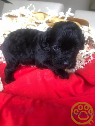 Stunning F1 toy Cockapoo's DNA CLEAR