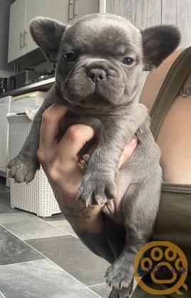 Pedigree french bulldogs