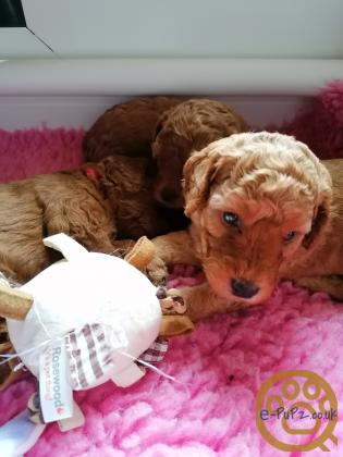 Gorgeous red cockapoo puppies-last boy puppy remaining