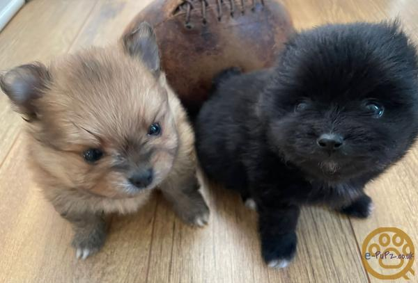 2 KC Regards Pomeranian Puppies for Sale