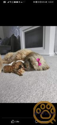 2 shitzu girl puppies ready 12th September