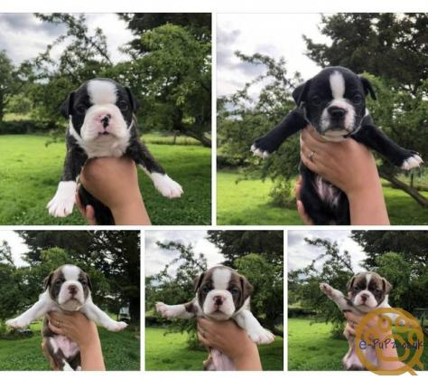 Beautiful Boston babies Looking For New Homes
