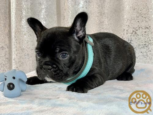Beautiful French Bulldog puppies for good home...