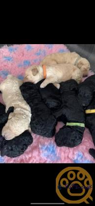 Beautiful golden doodle puppys