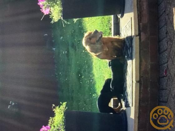 Cocker spaniels beautiful puppies