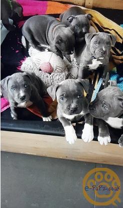 Cute Kc Blue Staffordshire bull terrier pups