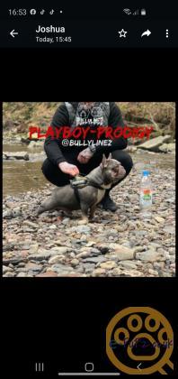 French bulldog puppies 1 boys 1 girl