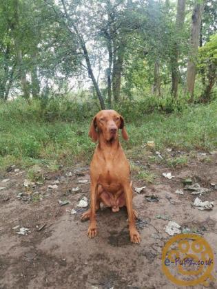 Hungarian Viszla Pups