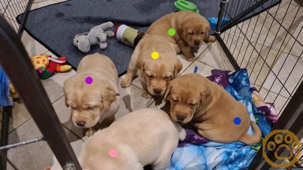 KC LABRADOR puppies (OWN DAME&SIRE)